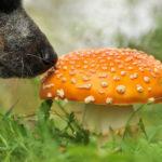 как научить собаку искать грибы