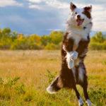 как научить собаку прыгать в воздух