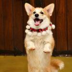 как научить собаку танцевать под музыку