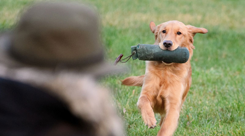 команда апорт собаке