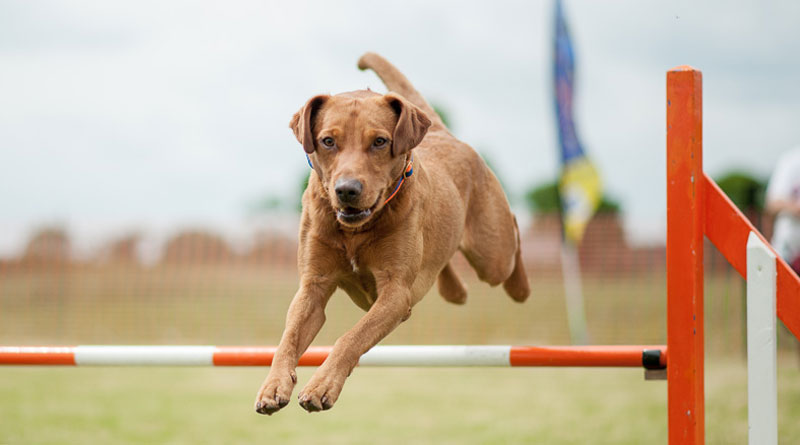 как научить собаку прыгать через барьер