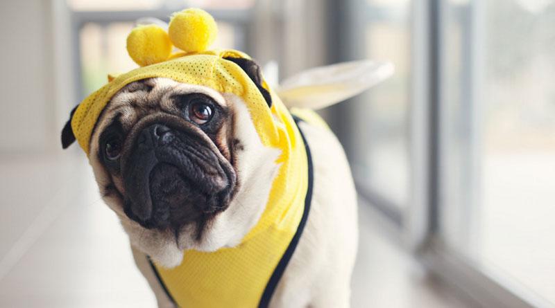 мопс в желтой шапке