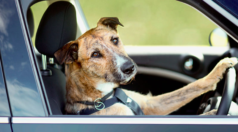 собака водит машину