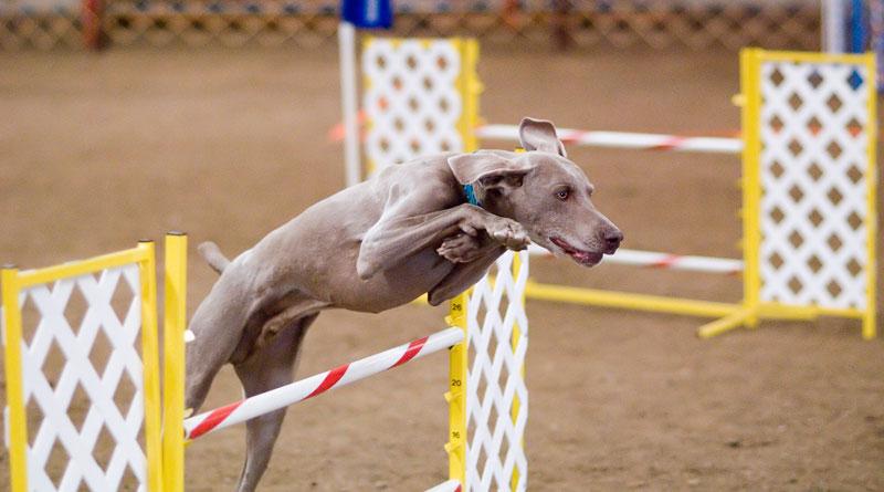 спорт с собакой, спортивная дрессировка собак