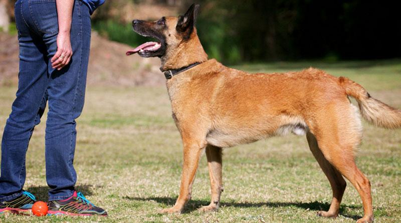 команда стоять для собак, дрессировка, обучение