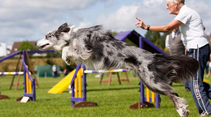 спорт с собакой аджилити