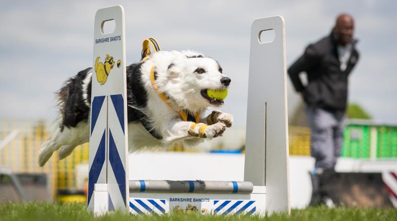 Флайбол для собак — история, правила, с чего начать обучение