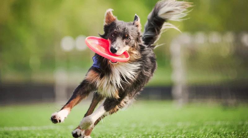собаки для дог-фризби