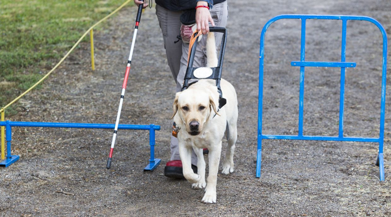 guide_dogs_training