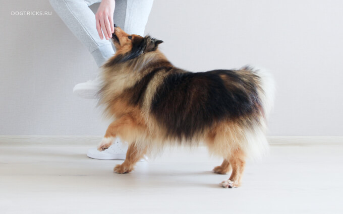 How to teach your dog the Spanish step