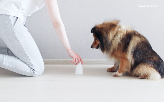 Playing thimbles with a dog